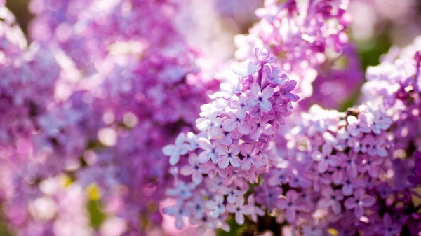 Lilac-spring-bloom-flowers-close-up_1920x1080